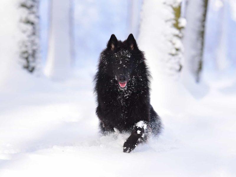 """Den belgiska vallhunden, även känd som """"den skrattande belgaren"""""""